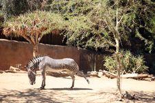 Free Zebra Royalty Free Stock Images - 3216369