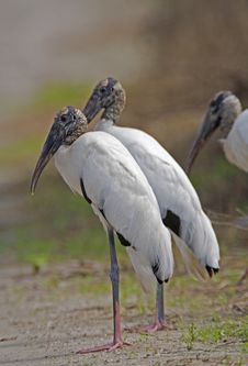 Free Wood Stork Royalty Free Stock Photography - 3217357
