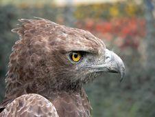 Bird Of Prey Head. Stock Photos