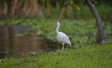 Free White Ibis Royalty Free Stock Image - 3218376