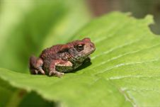 Free Toad On Leaf Stock Images - 3218384