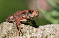 Free Pustular Toad Royalty Free Stock Photos - 3218398