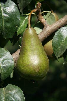 Free Single Ripe Bosc Pear Stock Images - 3218434
