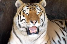 Free Siberian Tiger 2 Royalty Free Stock Image - 3219676