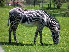 Free Zebra Royalty Free Stock Photos - 3219688