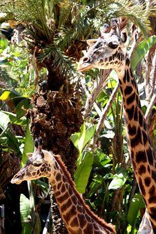 Free Giraff Hierarchy Stock Photo - 3219930
