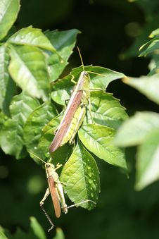 Free Grasshoppers Royalty Free Stock Photography - 3219947