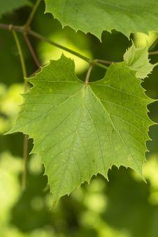 Free Grape Leaves Close-up Stock Photos - 32101623