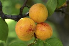 Free Apricots. Royalty Free Stock Images - 32104339