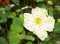 Free White Water-lily Or White Lotus Royalty Free Stock Image - 32118586