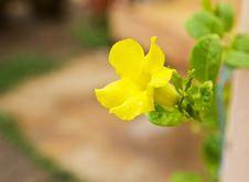 Free Allamanda, Golden Trumpet Flower Stock Photos - 32117243
