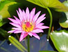 Free Pink Lotus Flower Stock Images - 32121174
