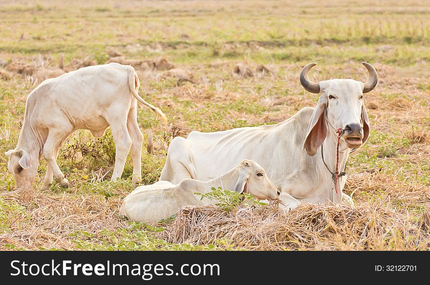 Cow on a summer cornfield