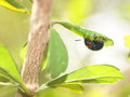 Free Blue Bug Beetles On A Green Leaf In Nature Stock Photography - 32134582