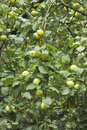 Free Many Green Apples On Apple-tree Branch Royalty Free Stock Image - 32137946