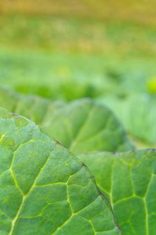 Free Cabbage Leaf Royalty Free Stock Images - 32132419