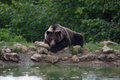 Free Brown Bear Resting Near A Pond Into The Forest Mountains Royalty Free Stock Photography - 32141937