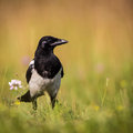Free Magpie Stock Photography - 32146952