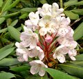 Free Rhododendron Royalty Free Stock Image - 32158666