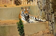 Free Tiger Royalty Free Stock Photography - 32151707