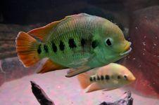 Free Fish Royalty Free Stock Photos - 32151728