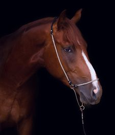 Free Chestnut Horse Stock Image - 32155391