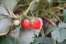 Free Strawberries On The Branch Royalty Free Stock Photography - 32155887