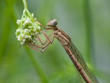 Free Damselfly Royalty Free Stock Photography - 32156317