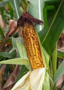 Free Corn Vegetable Stock Photo - 32157460