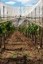 Free Covered Italian Vineyard Stock Image - 32162021