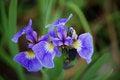 Free Blue Wild Iris &x28;Iris Setosa&x29; Stock Images - 32162604