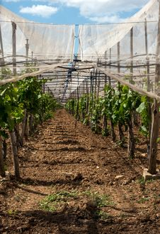 Covered Italian Vineyard Stock Image