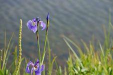 Blue Wild Iris &x28;Iris Setosa&x29; Stock Images