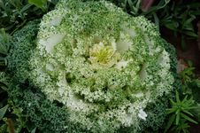 Free Green White Flowering Kale Borecole Brassica Olera Stock Image - 32162791