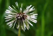 Free Dandelion After Rain Stock Photos - 32162883