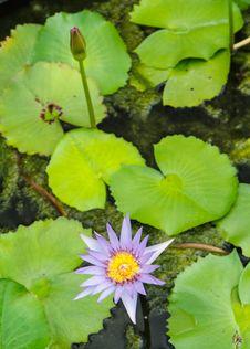 Free Purple Lotus Stock Photos - 32163443