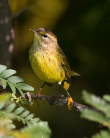Free Palm Warbler Stock Photography - 32169832