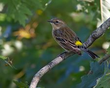 Free Yellow-rumped Warbler Stock Photos - 32169833