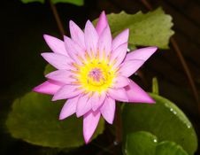 Free Pink Blooming Lily On The Pond Water Stock Images - 32169834