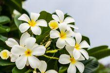 Free White Flower Stock Image - 32170301