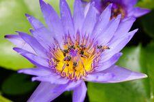 Free Purple Lotus With Bees Stock Image - 32171571