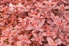 Free Red Leave Plant Royalty Free Stock Photo - 32171655