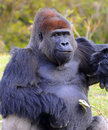 Free Smiling Male Lowland Gorilla Stock Photography - 32180052