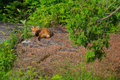 Free Staring Red Fox &x28;Vulpes Vulpes&x29; Royalty Free Stock Photography - 32180487