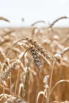 Ears Of Wheat On A Background Of Field Stock Photo