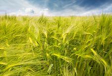 Free Wheat Field Stock Photo - 32182270