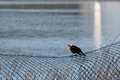 Free Yellow-headed Blackbird Xanthocephalus Xanthocepha Royalty Free Stock Image - 32199906