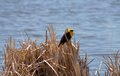 Free Yellow-headed Blackbird Xanthocephalus Xanthocepha Royalty Free Stock Photography - 32199947