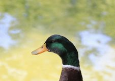 Free Duck Royalty Free Stock Photos - 32191118
