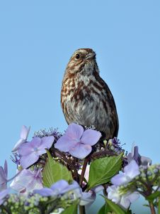 Free Brown Songbird Royalty Free Stock Photography - 32192117